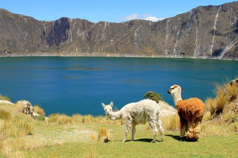 Quilotoa lamas Ecuador